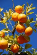 716006_oranges_on_a_tree